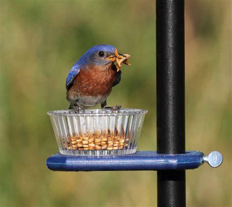 duncraftcom pole mount mealworm feeder