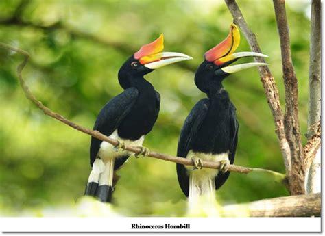 The Magnificent Hornbills Of Sarawak