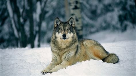 Grey Animal Wallpaper - gray wolf wallpapers wallpaper cave