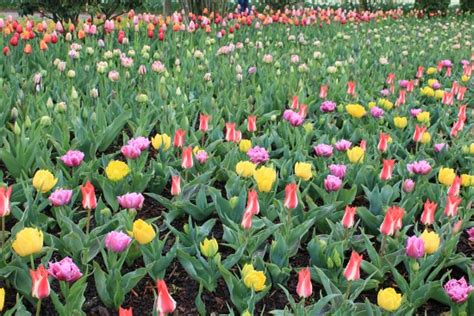 how to plant a tulip how to plant tulip bulbs one hundred dollars a month
