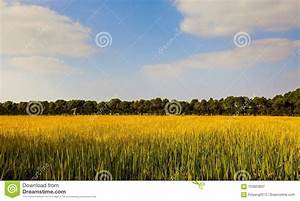 Mature Rice Stock Image  Image Of Crops  China  Plants