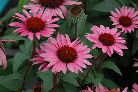 echinacea merlot merlot coneflower echinacea purpurea merlot in inver
