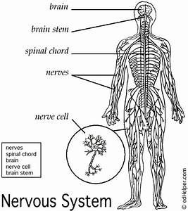 Diagrams of Nervous System Free | Diagram Site