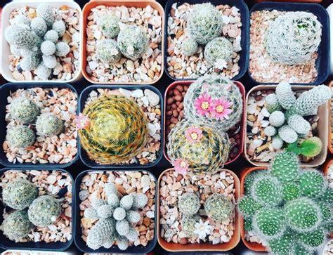 cactus 16   แคคตัส กระบองเพชร ไม้อวบน้ำ