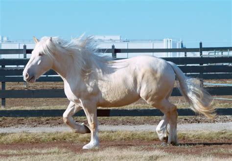 american cream draft horse info origin history pictures