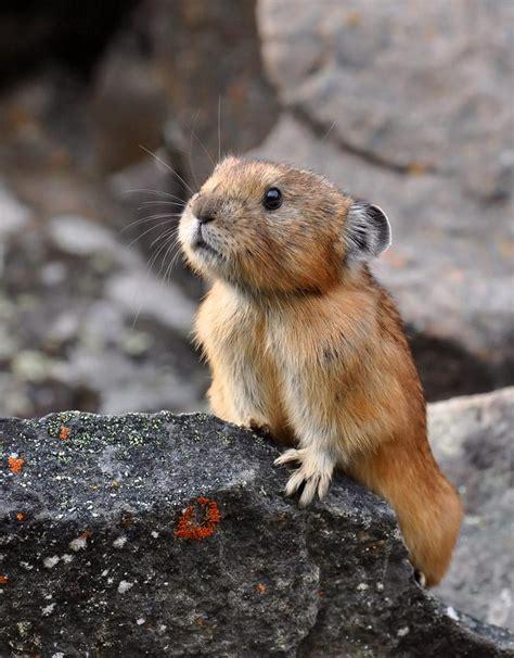 Research Spotlight Pikas In Extreme Habitats Teaching