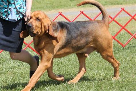 bloodhound breed information bloodhound images