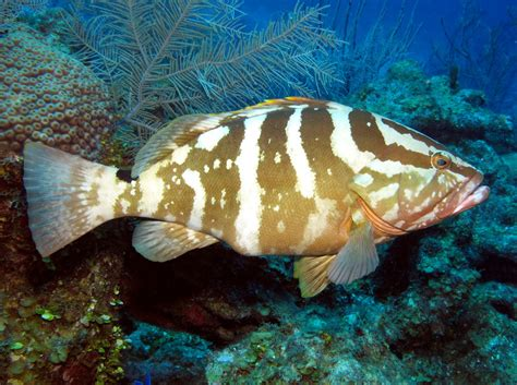 grouper nassau species epinephelus striatus florida fish cayman caribbean fishing reef reefs grand groupers goliath coney tropical reefguide location record
