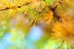 Alpenveilchen Gelbe Blätter : zyperngras bekommt braune spitzen woran kann 39 s liegen ~ Lizthompson.info Haus und Dekorationen