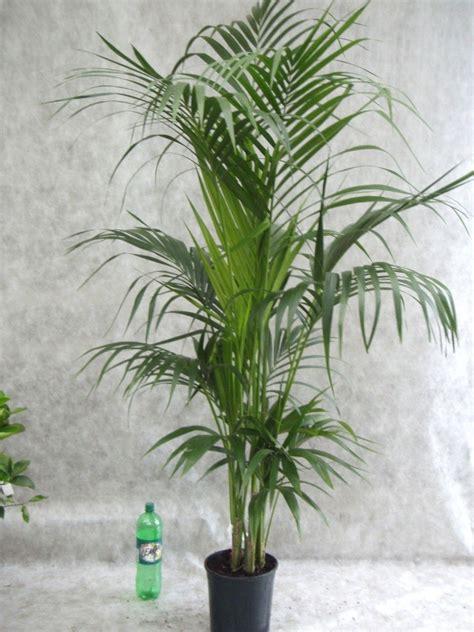 Zimmerpflanze Hoch by Zimmerpflanze Hoch Schmal Wohn Design