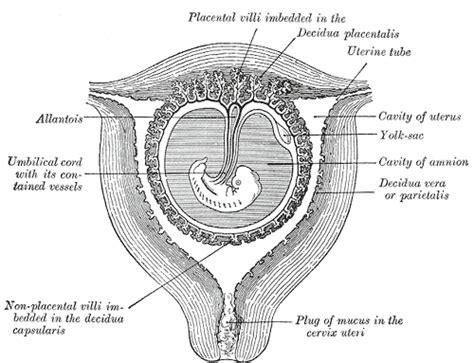 Cytotec Inserted In Cervix Decidua Wikipedia