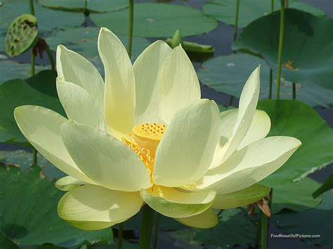 Lotus Flower Facts  All Amazing Facts