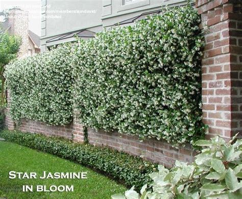 fast growing fence cover wrought iron fence panels covered with star jasmine fast growing privacy plants pinterest