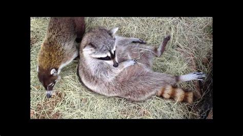 coati raccoon vs