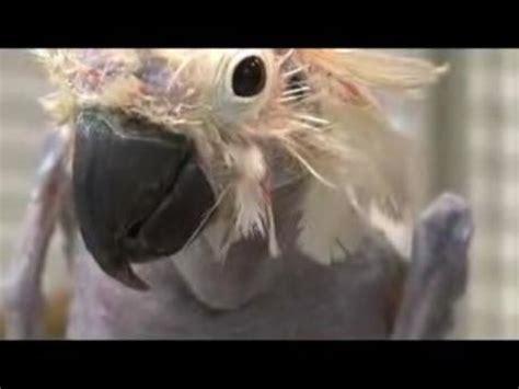 il est laid le bidet l oiseau le plus laid du monde