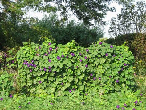 vines flowering kleckner oasis flowering vines