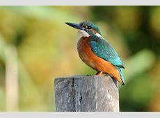 Kingfisher Norfolk Wildlife Trust
