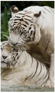 nature animals tiger white tigers big cats Wallpapers HD ...