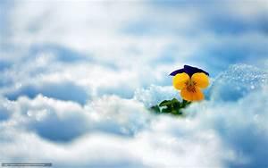 Blumen Im Winter : download hintergrund winter blume schnee freie desktop tapeten in der auflosung 2560x1600 ~ Eleganceandgraceweddings.com Haus und Dekorationen