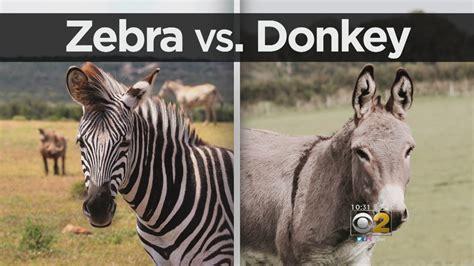 zebra donkeys donkey meet found which much gossip peace had would around