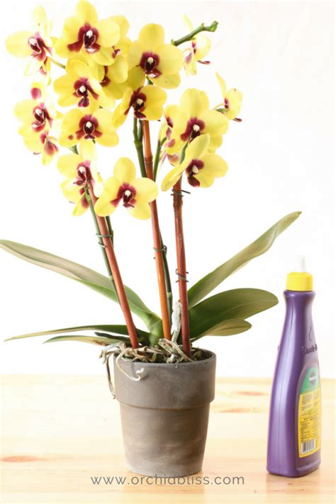 getting orchids to bloom just for you tips to re bloom orchids orchid bliss