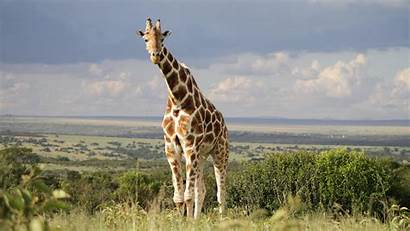 Giraffe 4k Ultra Background Animal Wallpapers Desktop