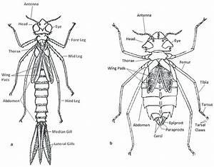 A U2013b  Odonata Morphology  Figs  Modified From Fraser 1919b