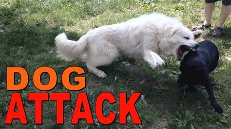 great pyrenees  pit bull mix youtube