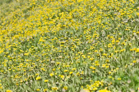 tarassaco fiore tarassaco in fiore al colle croso 187 massimo basso