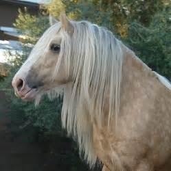 Palomino Gypsy Vanner Horse