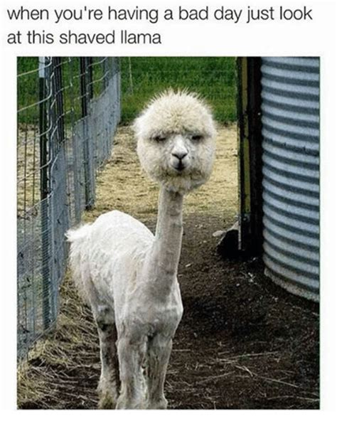 25+ Best Shaved Llama Memes  When Your Having A Bad Day