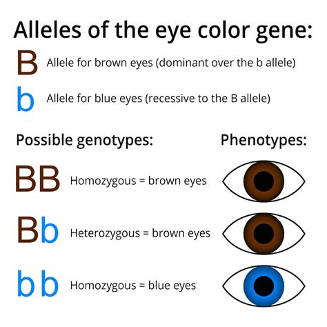 punnett square eye color population genetics biology visionlearning