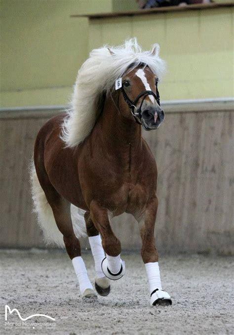 haflinger horses horse pony stallion ponies pretty breeds rare haflingers austria dressage animals
