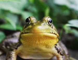 Frog  Amphibian  Toad And Tree Frog Hd Photo By Jack