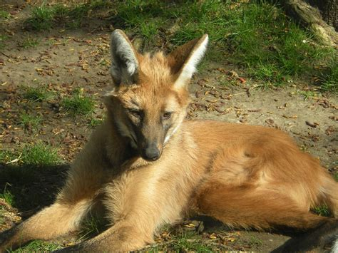Maned Wolf Zoochat