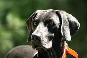 TracieBlue.com Breeders of Blue and Silver Weimaraners