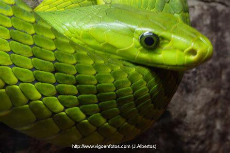 african green photos of green mamba african snake vigo bay galicia