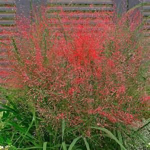 Rotes Gras Winterhart : purpur liebesgras von g rtner p tschke ~ Michelbontemps.com Haus und Dekorationen