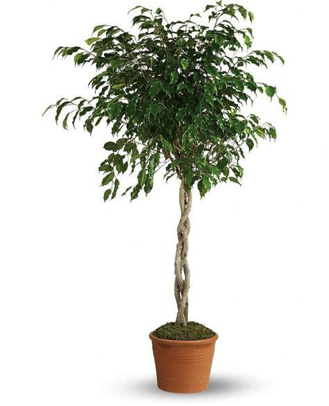 indoor tree plants 25 best indoor fig trees ideas on pinterest house plants interior plants and plant decor