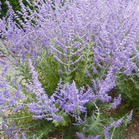 planting lavender seeds narrow leaf purple lavender seeds perennial herbs planting potted flower terrace english