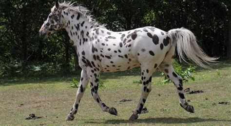 horse appaloosa breeds most expensive trendrr rajce idnes arabian clydesdale cz ru facts fastest famous hd