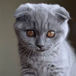 scottish fold cat a grand tour of scottish fold kittens catster