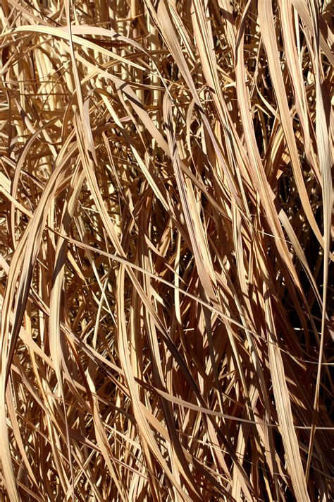 tall dead reed grass texture picture  photograph