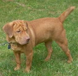 sharp eagle dog breed information and pictures