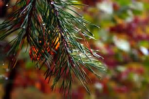 Fall Pine Tree