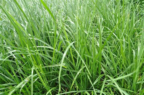 fescue grass types fine fescue grass www imgkid com the image kid has it