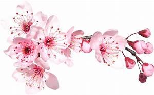 Dessin Fleur De Cerisier Japonais Noir Et Blanc : fleur de cerisier japonais dessin id e d image de fleur ~ Melissatoandfro.com Idées de Décoration