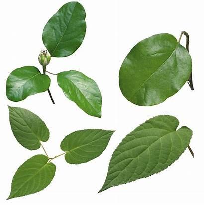 Leaf Leaves Transparent Leave Freepngimg Different Hq
