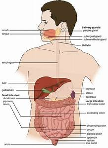 Glands Of The Digestive System Anatomy