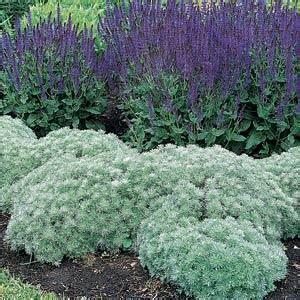 Silver Mound Artemisia - Trees Today Nursery